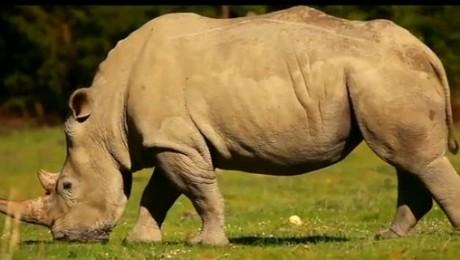 Rinocerii din Africa, monitorizati prin GPS