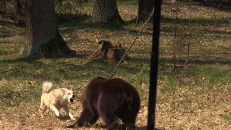 Vier Pfoten: Royal Canin a sponsorizat lupte ilegale de caini cu ursi (Video)