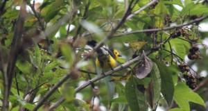 Paruline dorée Myioborus ornatus Golden-fronted Whitestart