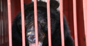 urs negru asiatic