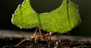 furnici taietoare de frunze