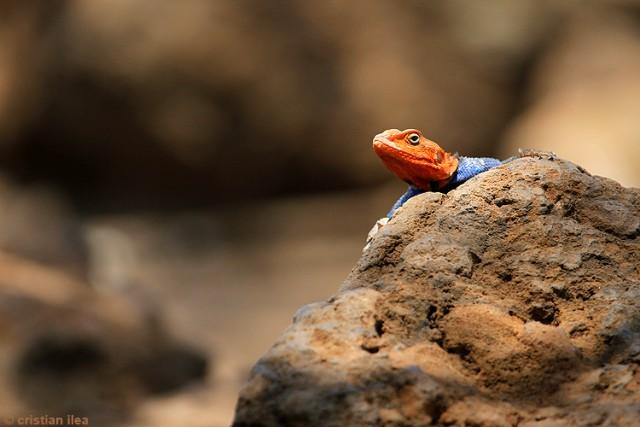 Şopârlă-curcubeu