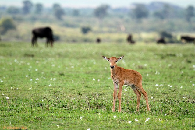 Pui de antilopă de iarbă