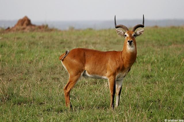 Antilopă de mlaștină