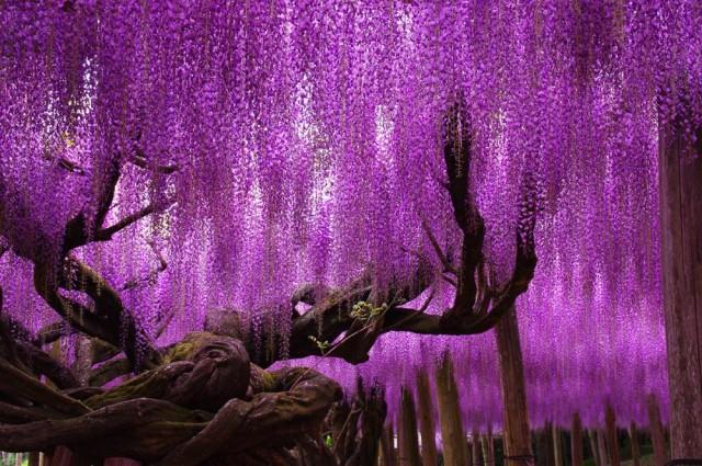 Wisteria-Tree-Ashikaga-Flower-Park-Japan