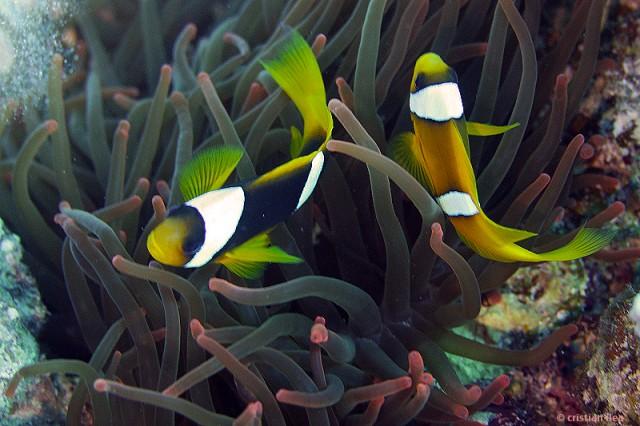 Peștii clovn