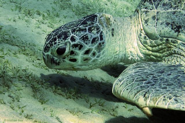 Ţestoasă verde de mare