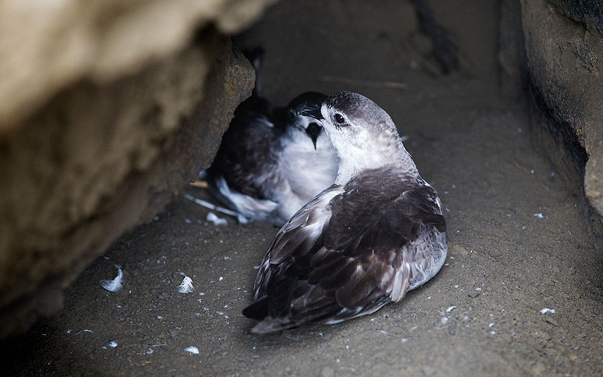 Tonga_birds_3392163k