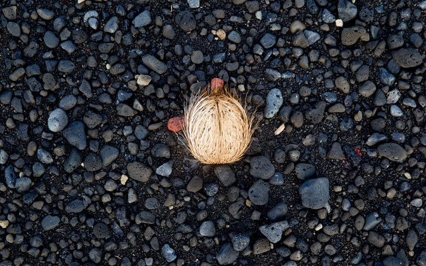 Tonga_coconut_3392152k