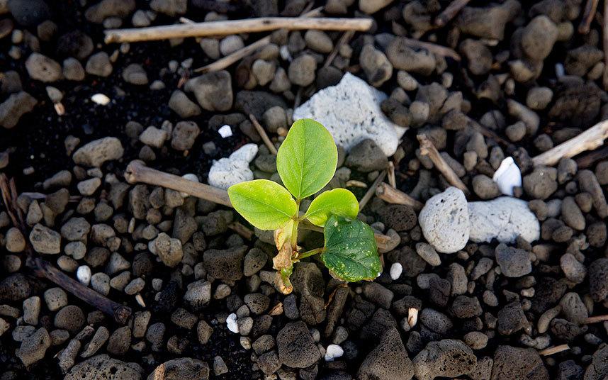 Tonga_green_shoots_3392156k
