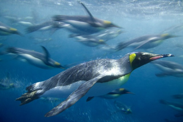 07 Feb 2004, Macquarie Island, Tasmania, Australia --- King Penguins Swimming --- Image by © DLILLC/Corbis