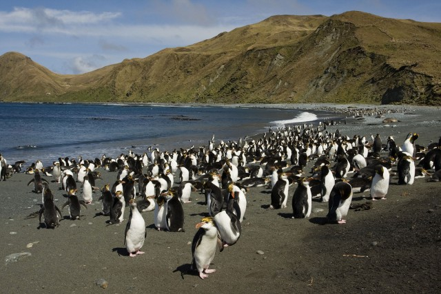 15 Nov 2008, Macquarie Island, Tasmania, Australia --- Royal Penguin (Eudyptes schlegeli) colony on beach, Macquarie Island, Australia --- Image by © Otto Plantema/ Buiten-beeld/Minden Pictures/Corbis