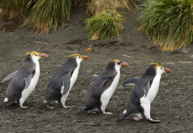 15 Nov 2008, Macquarie Island, Tasmania, Australia --- Royal Penguin (Eudyptes schlegeli) group walking, Macquarie Island, Australia --- Image by © Otto Plantema/ Buiten-beeld/Minden Pictures/Corbis