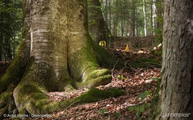 pădurile virgine din România