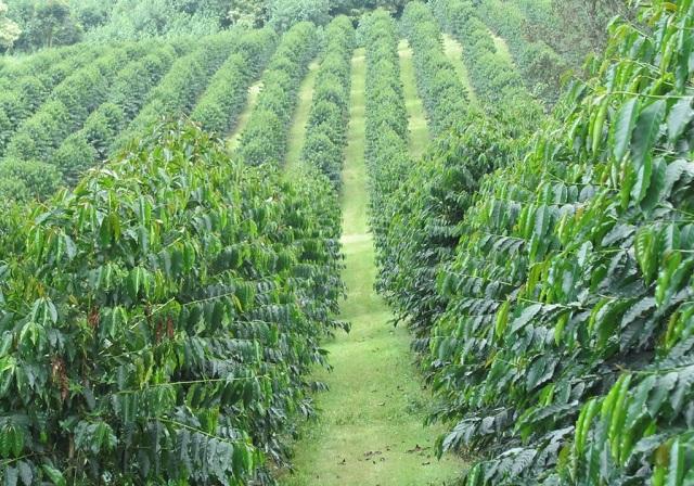 Consumul de cafea nesustenabilă duce la schimbări climatice