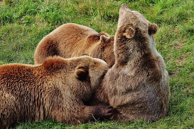 european-brown-bear-1572347_640