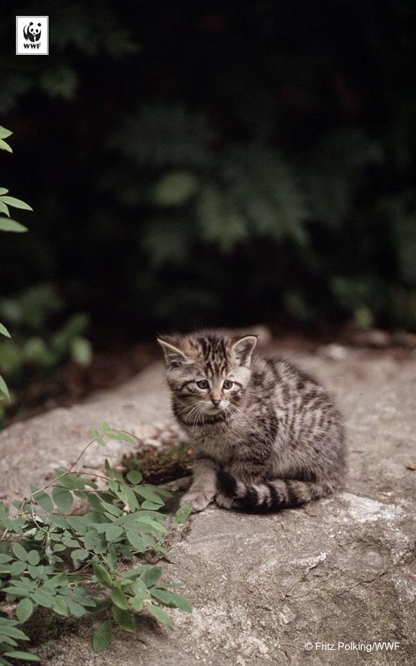Felis silvestris Wild cat cub Bavarian Forest National Park Germany