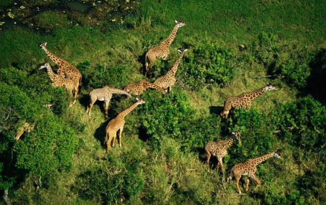 girafe animale pe cale de disparitie extincție