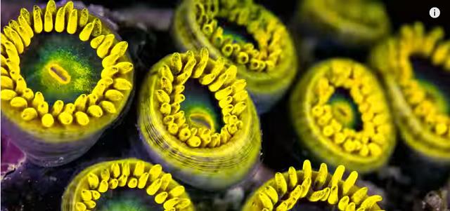 coralilor