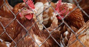 Carrefour nu va mai comercializa ouă care provin de la găini crescute în cuști