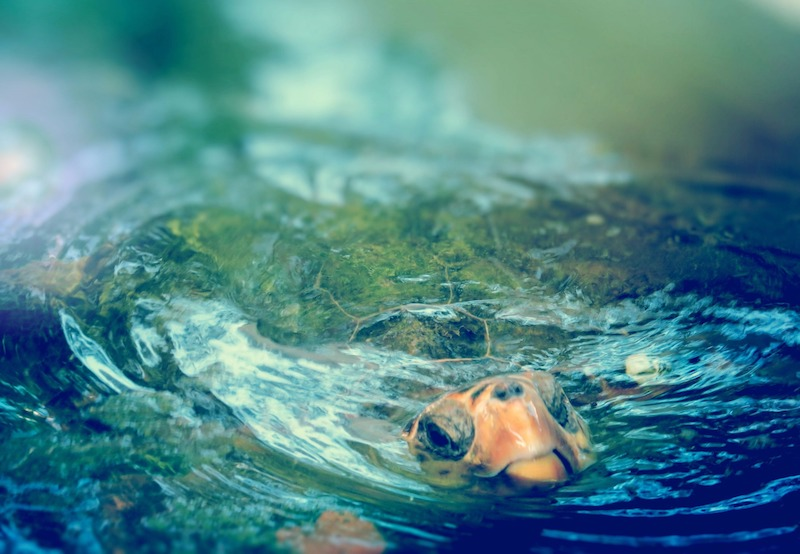 Țestoasa Marină (Caretta caretta)