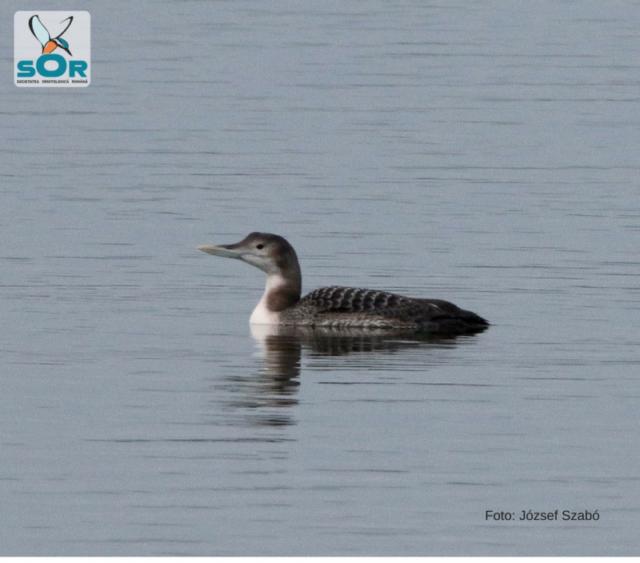 O specie nouă de pasăre în fauna României