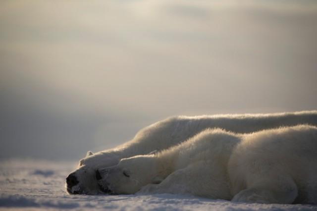 ursi polari extinctie