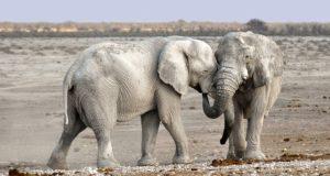 elefanti interdictie fildes