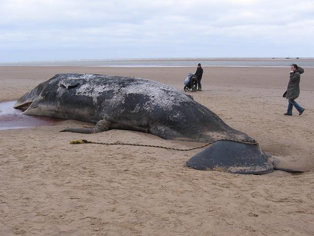 caşalot găsit mort pe o plajă din Spania