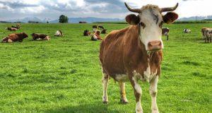 studiu vaci