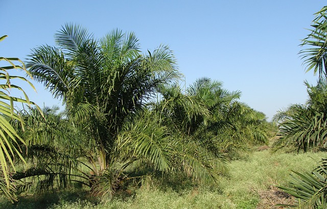 ulei de palmier iceland