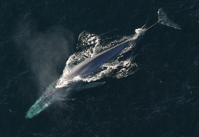 Japonezii au ucis 333 de balene, din care 122 - gestante