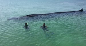 O balenă dintr-o specie amenințată cu dispariția, salvată după ce eșuase la mal