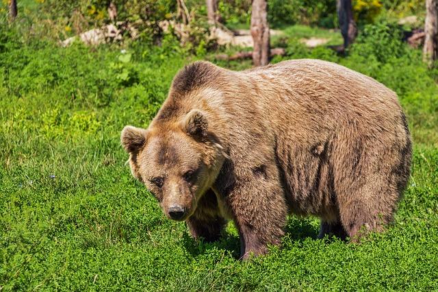 Autoritățile din Sibiu iau în calcul să monteze garduri electrice pentru a împiedica urșii să intre pe autostradă