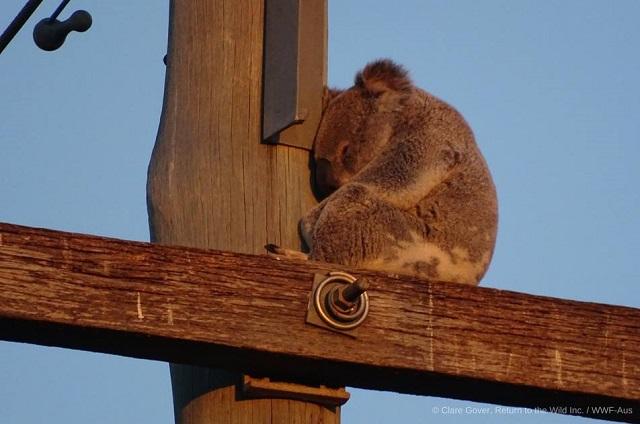 Koala ar putea dispărea dintr-un stat australian din cauza defrișărilor