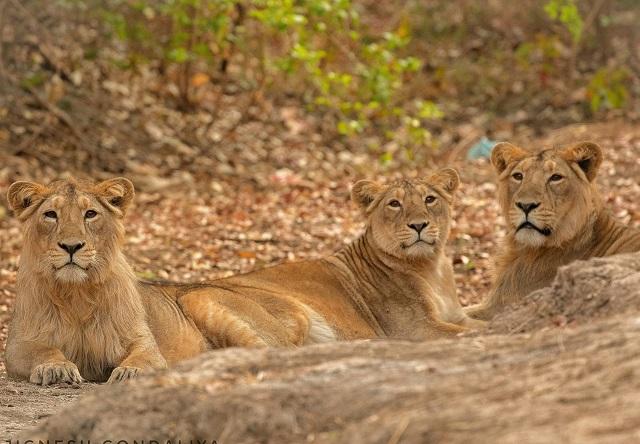 India. 23 de lei dintr-un parc național au murit în doar trei săptămâni