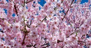 Cireșii din Japonia au înflorit deja din cauza taifunurilor și a temperaturilor ridicate