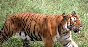 """China a trimis în spațiu mostre de ADN ale unui tigru dintr-o specie """"tehnic extinctă"""""""