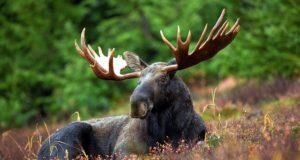 Locuitorii din Alaska au voie să consume elanii care sunt loviți de mașini
