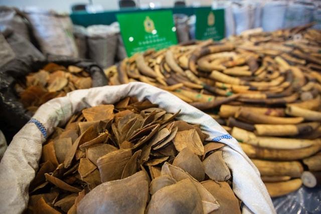 solzi de pangolin   Foto: Wild Aid