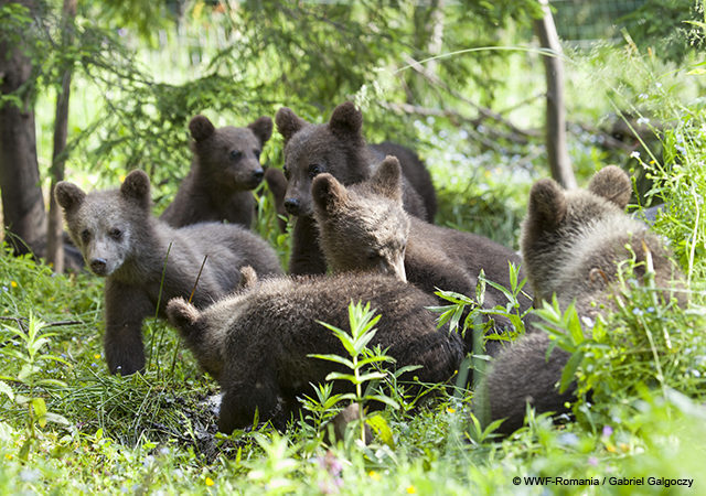 ursuleți
